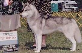 Left Profile - A grey and white with black Siberian Husky that is standing in grass at a dog show. There is a winning plaque in front of it and there are people standing behind it.
