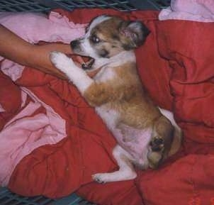 Side view - A brown with white and black Scotch Collie puppy is laying on its right side in a crate and it is biting and pawing at a persons hand that is in the crate.