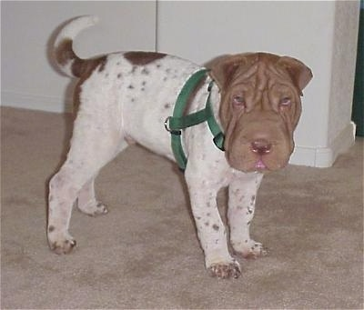 A big headed, white and  tan Chinese Shar-Pei puppy is wearing a green harness, it is standing on a carpet and it is looking forward. It has small folded over ears.