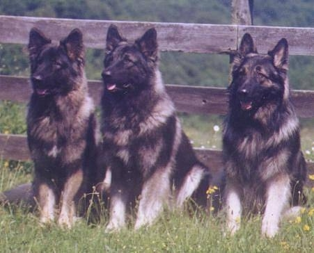Three black with grey Shiloh Shepherds are sitting in a row in grass and behind it is a wooden fence.