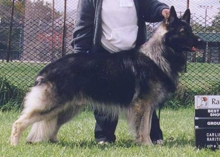 Right Profile - A long coated, black with tan Shiloh Shepherd is standing across a grass surface and it is looking to the right. There is a person standing behind it touching the head of the dog.