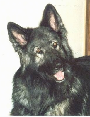 Close up - A black and grey Shiloh Shepherd is standing in a room, its head is slightly tilted to the left, it is looking forward, its mouth is open and it looks like is smiling. The dog is mostly black with a little bit of gray.