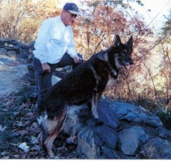 The right side of a black and tan Shiloh Shepherd is standing up across a small rock wall, it is looking to the right and there is a man in a baseball cap standing behind it.