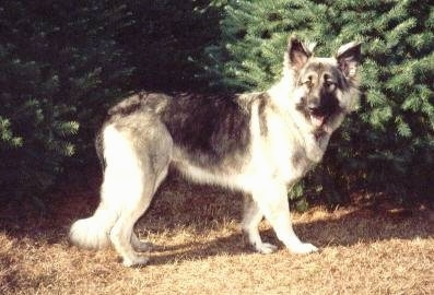 The right side of a black with tan Shiloh Shepherd is standing across brown grass, there are two trees behind it, it is looking forward, its mouth is open and its tongue is out.