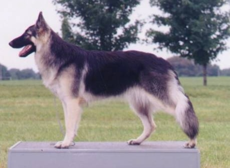 Left Profile - A black with tan Shiloh Shepherd is standing on a surface outside, it is looking to the left, its mouth is open and its tongue is out.
