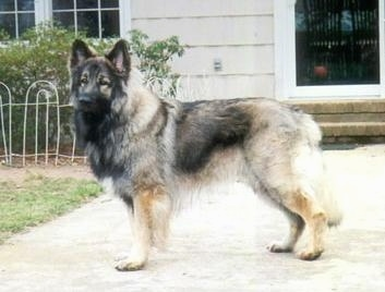 The left side of a long coated, thick haired, black with tan Shiloh Shepherd is standing across a walkway and it is looking forward. The dog is holding its tail low.