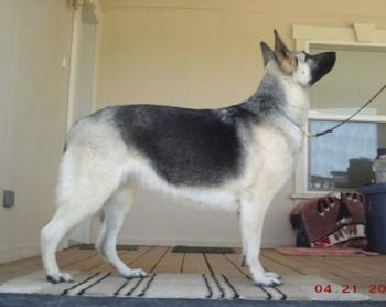 Right Profile - A short haired black with tan Shiloh Shepherd is standing in a room, it is looking up and to the right.