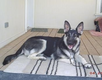 The left side of a shorthaired black and tan Shiloh Shepherd dog that is laying across a rug, it is looking forward, its mouth is open and its tongue is sticking out. The dog has large perk ears.