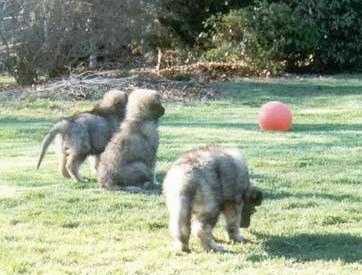 The back of a litter of three fluffy Shiloh Shepherd puppies that are standing and sitting in grass. Two of the puppies are looking at a red ball across the field.