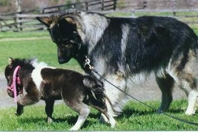 A black with grey and tan Shiloh Shepherd is standing across a grass surface. It is looking down at a small Pony walking in front of it. The dog is three times larger than the pony.