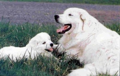 Two thick-coated dogs, an adult and a little puppy - A tan Slovensky Cuvac is laying in grass next to a Slovensky Cuvac puppy. Both of there mouths are open and it looks like they both are smiling.