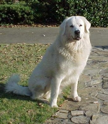The front left side of a thick coated, white Slovensky Cuvac dog that is sitting across grass near a stone walkway, it is looking forward and its mouth is slightly open. It has a black nose, black lips and black eyes and ears that hang down to the sides.