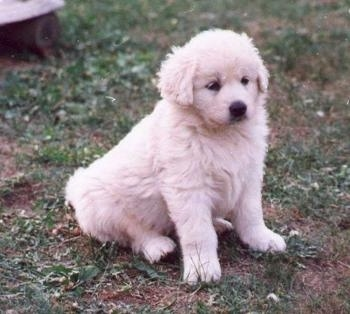 The front right side of a small, fluffy little white Slovensky Cuvac puppy that is sitting across a grass surface and it is looking to the right.