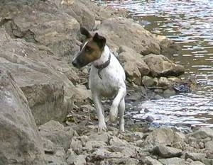 Front view - A white with brown and black Smooth Fox Terrier that is standing on rocks next to a body of water and it is looking to the left. Its front paw is in the air.