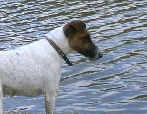 The right side of a white with brown and black Smooth Fox Terrier that is standing near a body of water and it is looking to the right.