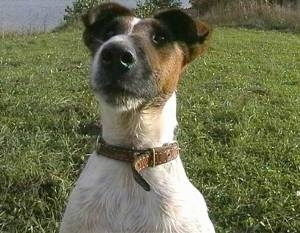 Close up head shot - A white with brown and black Smooth Fox Terrier is sitting in grass, it is looking up and forward.