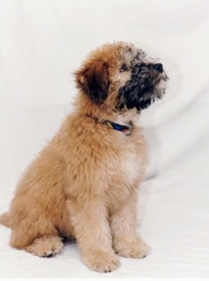 The right side of a fluffy little brown with black Soft Coated Wheaten Terrier puppy is standing across a white backdrop, it is looking up and to the right.