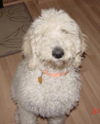 Close up front view - Top down view of a thick, wavy coated, white Standard Poodle puppy sitting on a hardwood floor looking up. The dog has a black nose.