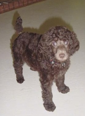 A small, brown Standard Poodle puppy standing across a tan carpeted surface looking up.