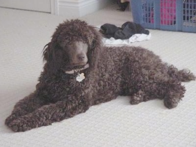 A thick, wavy coated, brown Standard Poodle dog laying across a tan carpet looking forward. The dog has a shaved muzzle and a brown nose.