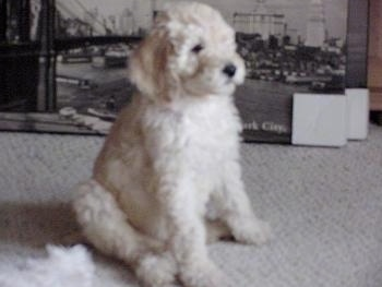 Poodle Puppies on Sabrina The Standard Poodle Service Dog As A Puppy