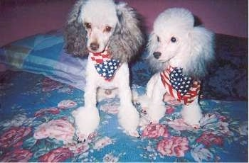 Two shaved silver Toy Poodles are standing and sitting on a bed and they both are wearing American flag bandanas. They have longer, thicker hair on their ears.