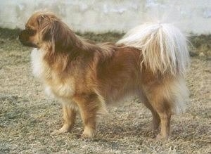 The left side of a brown with white and black Tibetan Spaniel that is standing across brown grass and it is looking to the left. It has long hair on its light colored tail and a short black muzzle.