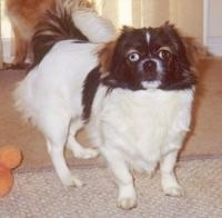Front side view. A white with black and brown Tibetan Spaniel is standing on a carpeted surface, it is looking up and forward. The dog has one blue eye and one brown eye.