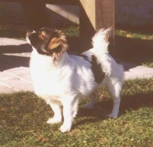 The front left side of a white with black and tan Tibetan Spaniel dog standing across a grass surface, its head is up and it is looking to the left. The dogs tail is curled up over its back. Its body is mostly white.