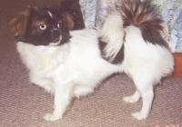 The left side of a white with black and brown Tibetan Spaniel dog standing across a carpeted surface and it is looking to the right showing its blue eye.