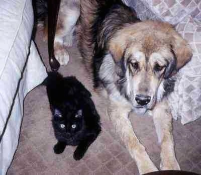 Topdown view of a black and tan with gray Tibetan Mastiff that is laying across a rug OT the left of it is a black Cat laying on the rug. The Cat is looking up.