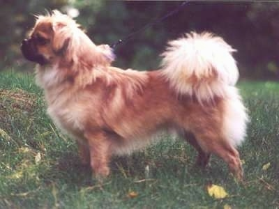 Left Profile - A brown with black Tibetan Spaniel dog posing outside in grass and it is looking to the left. Its fluffy tail curls up over its back and puffs out in a lighter hair.