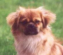Close up head shot - a brown with white and black Tibetan Spaniel dog sitting in grass looking forward. The dog has fluffy hair on its short hanging ears and a black muzzle.