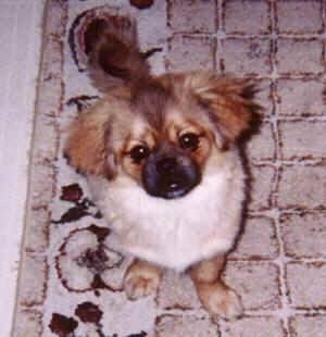 Top down view of a brown with white and black Tibetan Spaniel that is sitting on a rug and it is looking up. The dog has wide round eyes and a black muzzle.