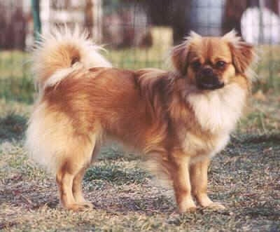 The right side of a red with white Tibetan Spaniel that is standing across a brown grass surface and it is looking forward. The dog has longer hair on its fold over short ears and longer hair on its tail that curls up over its back.