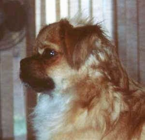 The front left side of a brown with white and black Tibetan Spaniel dog sitting on a carpet and it is looking to the left. The dogs small ears fold over to the front. It has wavy hair on its neck dark eyes and a dark pushed back muzzle.