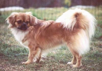 The left side of a brown with white and black Tibetan Spaniel dog standing across a grass surface and it is looking to the right. There is a wire fence behind it. The dogs tail is fanned over its back and has lighter fur on it.