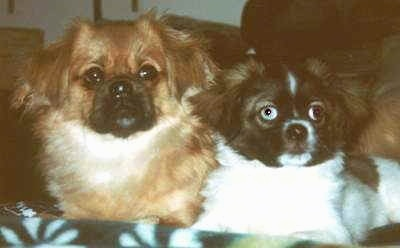 A brown with white and black Tibetan Spaniel dog laying next to a white with black and brown Tibetan Spaniel dog with one blue eye and they both are looking up.