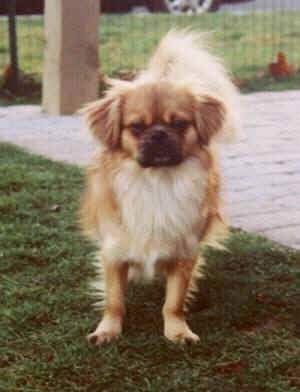 Front view - A brown with white and black Tibetan Spaniel is standing on grass, to the right of it is a porch and it is looking forward. The dog has lighter hair on its tail, short fold over ears and a pushed back face with a dark muzzle.