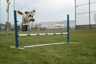 Molly the Tibetan Terrier is jumping over a white, red and blue agility bar obstacle outside with a smile on her face.