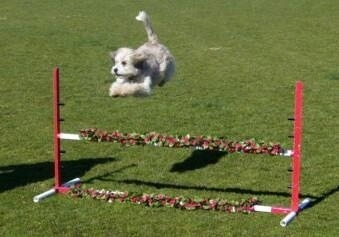Molly the Tibetan Terrier is jumping a foot above the top of a red and white agilty bar obstacle outside