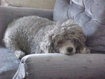 Todo the Toy Poodle laying in a recliner