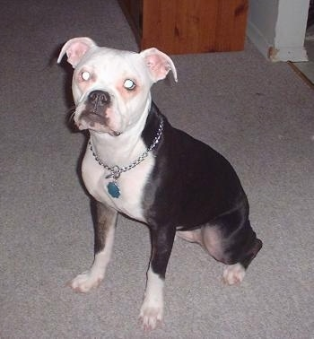The front left side of a black with white Valley Bulldog that is sitting across a carpeted surface, it is looking up and forward. The dog has rose ears that fold down and out to the sides and a wide chest.