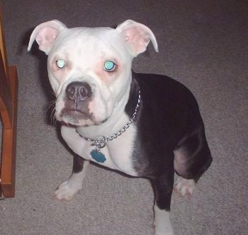 Top down view of a black with white Valley Bulldog that is sitting across a carpet and it is looking up. Its small ears are set wide apart and folded down to the sides. It has a black nose.
