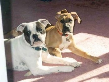 The right side of a Valley Bulldog laying down next to a Boxer dog laying across a carpet and they are looking forward. One dog is white with dark brown and the boxer dog is reddish brown.