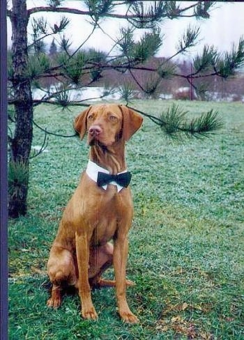 A tan Vizsla is sitting in grass in a field, it is looking to the left, it is wearing a white collar and a black bowtie.