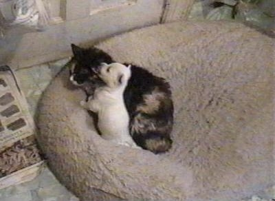 A Westie puppy is licking the ear of a cat who is larger than the dog in a dog bed in front of a door