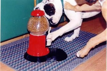 A Valley Bulldog and a Boxer are attempting to both hit the lever of a Yuppy Puuy Treat Machine that is on top of a rug.