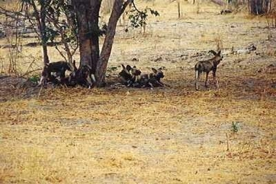 A group of African Wild Dogs laying down under a tree