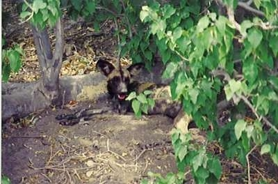 African Wild Dog hidden in the leaves